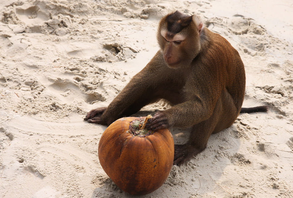 975x660_monkey_and_coconut